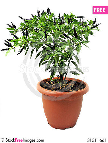 Free Ornamental Pepper Grown In Pots   On White Stock Image - 31311661