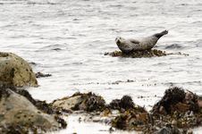 Free Harbour Seal On Rock Stock Images - 31311444