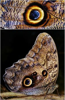 Free Owl Butterfly Royalty Free Stock Image - 31312446