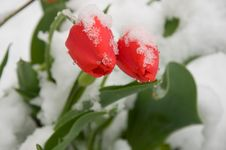 Free Tulips In The Snow. Royalty Free Stock Photos - 31312728