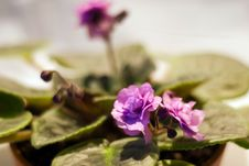 Free African Violet Royalty Free Stock Image - 31314306
