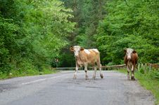 Cows On The Road Stock Photo