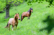 Free Brown Horses Stock Photo - 31324390