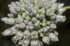 Onion Blossom Stock Images