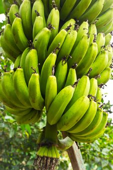 Free Green Banana Tree Stock Images - 31327724