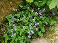Free Blue Violet - Viola Sororia Royalty Free Stock Photos - 31334268