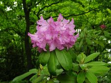 Free Mountain Rosebay - Rhododendron Catawbiense Royalty Free Stock Photography - 31334517