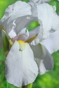 Free Flower Of Bearded Iris Closeup Royalty Free Stock Photos - 31336098
