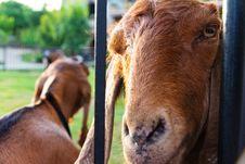 Free Portrait Of Goat Royalty Free Stock Image - 31338526
