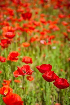 Free Poppy Field Stock Photos - 31339443