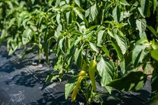 Free Green Chilli Peppers Plant Royalty Free Stock Image - 31339456