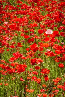 Free Poppy Field Stock Photos - 31339463