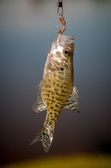 Free Small Bass Fish Royalty Free Stock Photography - 31339477
