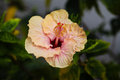 Free Crisp Hibiscus Stock Photography - 31340592