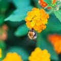 Free Honey Bee Royalty Free Stock Photo - 31341055