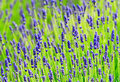 Free Lavender In Summer Time Royalty Free Stock Photos - 31342108