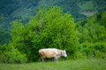 Free Cow In The Mountains Stock Photography - 31345102