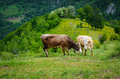 Free Cows In The Mountains Royalty Free Stock Image - 31345286