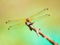 Free Dragonfly Resting On The Branch Royalty Free Stock Image - 31347806