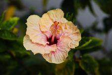 Crisp Hibiscus Stock Photography