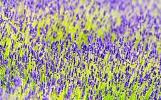 Free Lavender In Summer Time Royalty Free Stock Image - 31342356