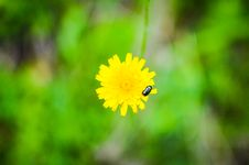 Free Bug On A Dandelion Flower Royalty Free Stock Image - 31342586