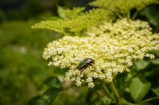 Bug On An Elderberry Flower Royalty Free Stock Photo