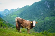 Free Cow In The Mountains Royalty Free Stock Photo - 31345145