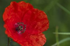Free Poppy Flower Royalty Free Stock Photography - 31346127
