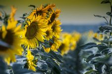 Sunflowers Row Royalty Free Stock Photography