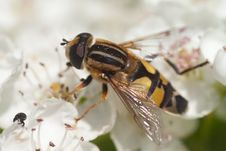 Free Hoverfly Royalty Free Stock Images - 31347069
