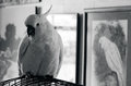 Free Cockatoo Parrot Royalty Free Stock Photos - 31352358
