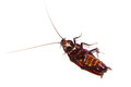 Free Cockroach Stock Photography - 31356162