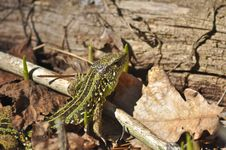Free Green Lizard Stock Photo - 31350200