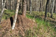 Ant Hill In Spring Forest. Stock Photos