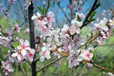 Free Pink Flowers Blossoming Tree Royalty Free Stock Photography - 31352907