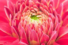 Free Pretty Red Dahlia Macro Stock Photo - 31357010