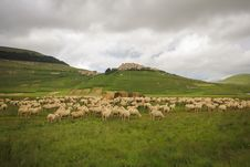Free Sheeps On Pasture Stock Photography - 31358942