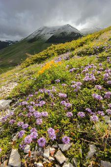 Wild Mountain Flowers Stock Image