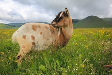 Free Goat On Flowering Meadow Royalty Free Stock Photography - 31359457