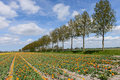 Free Trees And Tulips In Dutch Landscape Royalty Free Stock Images - 31365619