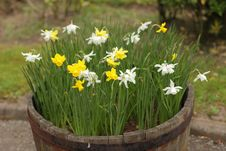 Free Spring Daffodils Stock Images - 31362384