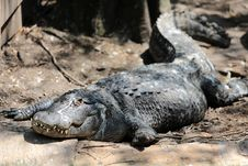 Free Crocodile Royalty Free Stock Image - 31364016