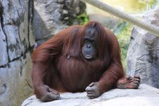 Free ORANGUTAN Royalty Free Stock Photo - 31364035