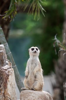 Free Meerkat Stock Photos - 31366713