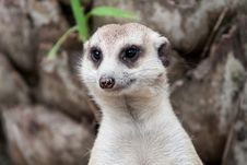 Free Meerkat Royalty Free Stock Images - 31366999