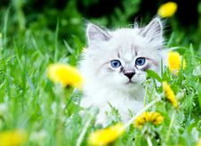 Free Small Kitten Royalty Free Stock Photography - 31367487