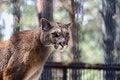 Free Puma Royalty Free Stock Photo - 31379505
