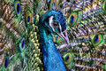 Free Peacock Royalty Free Stock Image - 31379526