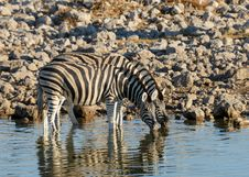Free Zebra At The Waterhole Royalty Free Stock Photography - 31370227